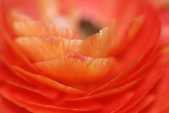 Ranunculus - Buttercup II by vbk70