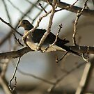 Mourning Dove, New Year's Day by Barry Doherty