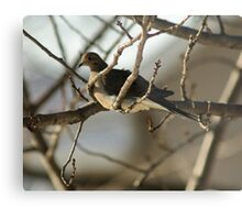 Mourning Dove, New Year's Day Metal Print