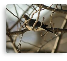 Mourning Dove, New Year's Day Canvas Print