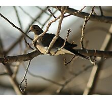 Mourning Dove, New Year's Day Photographic Print