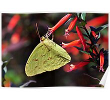Cloudless Sulpher Butterfly Poster