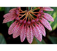 Orchid (Bulbophyllum eberhardtii) Photographic Print