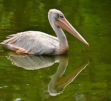 Pelican and it's Reflection by DebbyTownsend