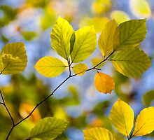 Sunlit Autumn Leaves by Natalie Kinnear