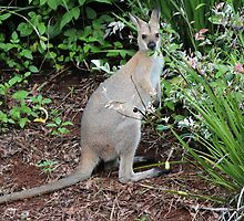 Wallaby in my Garden by Sandy1949