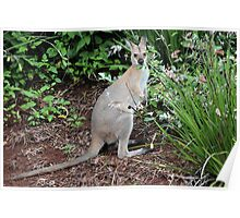 Wallaby in my Garden Poster