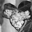 Snow on Ivy by Barbara Gerstner