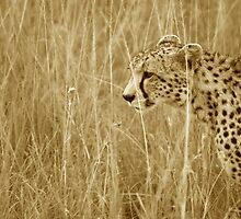 Cheetah by curtophoto