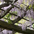 Wisteria Arbor in Brooklyn Botanic Gardens by MischaC