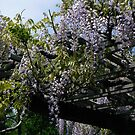 Wisteria Arbor by MischaC