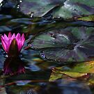 Water Lilly by Lisa Bianchi