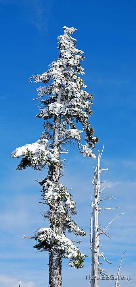 Snow Covered Pine by North22Gallery