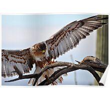 Landing Gear of Ferruginous Hawk Poster