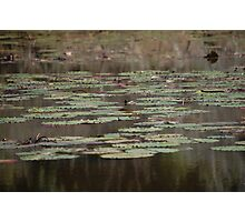 Lillypads Photographic Print