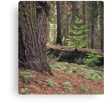Redwood Forest, Yosemite National Park Canvas Print