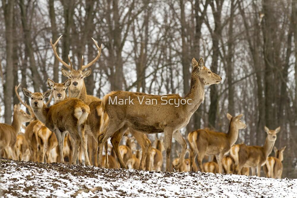 Red Deer in the Snow by Mark Van Scyoc