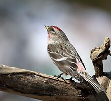 Upward Glance / Common Redpoll by Gary Fairhead