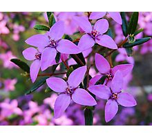 Boronia Ledifolia Photographic Print