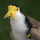 Australian Masked Lapwing by Ross Campbell