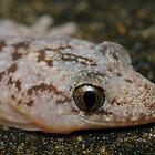 Lesueur's Velvet Gecko - Oedura lesueurii by Andrew Trevor-Jones