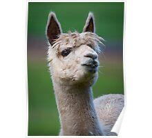 """Llama Portrait"" Poster"