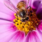 Bee on cosmos by Heather  McCann
