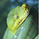 Green Tree Python (iPhone/iPod Case) by Leanne Allen