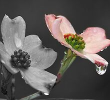 Dogwood Blossom by Bine