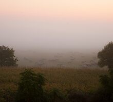Sheep in a foggy pasture at dawn near mont st. michel france by Michael Brewer