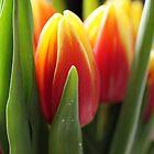 Tulip time by Joyce Knorz