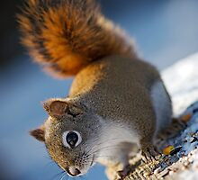 Red Squirrel by Charles Dillane