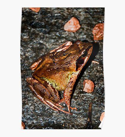 garden toad Poster