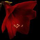 Red Amaryllis by Ann Garrett