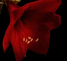 Red Amaryllis by Ann Garrett