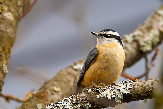 Red-breasted Nuthatch by Tom Talbott