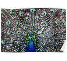 Peacock parade Poster