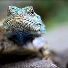 African rock lizzard by Greg Parfitt