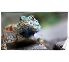 African rock lizzard Poster