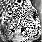 Leopard, hunting! by Greg Parfitt