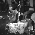 Shearing B/W by diggle