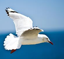 Seagull in Flight - Northern Tasmania  by aslanimages
