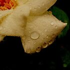 Scratched Rose by Jamie McCall