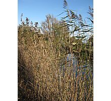 Canal Bank Reeds Photographic Print