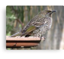 Juvenile Brush Wattlebird Canvas Print