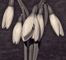 Snowdrops by Darren Burroughs