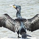 Black Cormorant. by shortshooter-Al