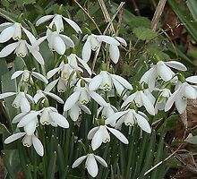 Winter's egg is cracking - snowdrops by Rivendell7