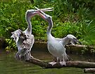 Passionate Pelicans by Krys Bailey