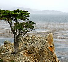 Lone Cypress by Ross Campbell